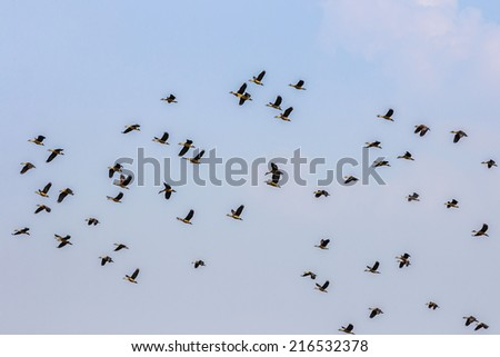 wood ducks flying on blue sky background - stock photo