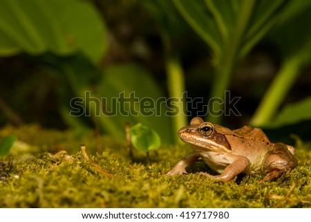 Wood Frog - stock photo