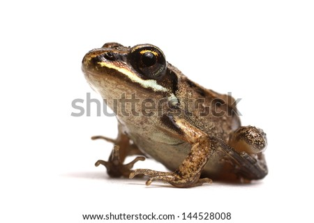 Wood frog (Rana sylvatica) - stock photo