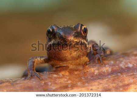 Wood Frog (Rana sylvatica) on a log with a green background - stock photo