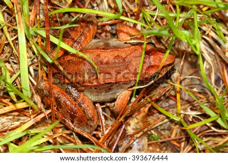 Wood Frogs (Rana sylvatica) are adapted to handle cold temperatures and occur throughout northern North America - stock photo