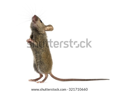 Wood mouse looking up in front of a white background - stock photo