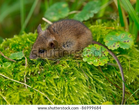 Wood mouse sitting in green moss
