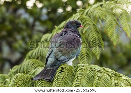 Wood Pigeon/ a New Zealand native wood pigeon sitting on a fern frond  - stock photo