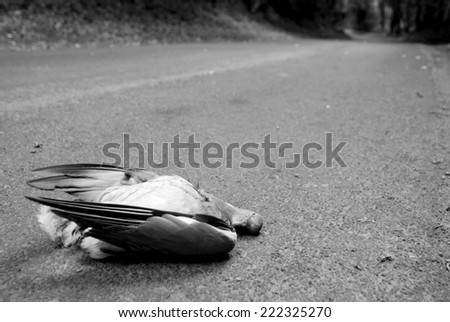 Wood pigeon lies dead in a country lane - monochrome processing - stock photo