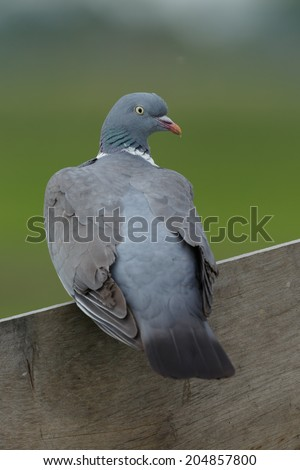 Wood pigeon on a fence - stock photo