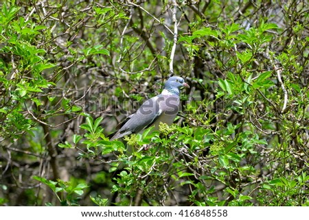 Wood pigeon on a tree - stock photo