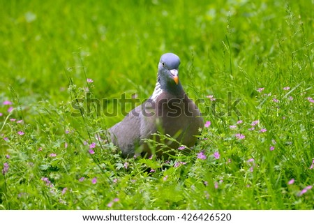 Wood pigeon on the grass - stock photo