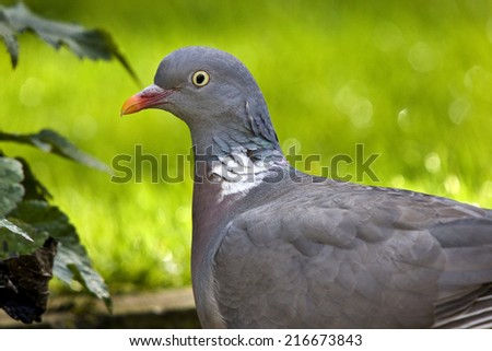 Wood Pigeon or Stock Dove.