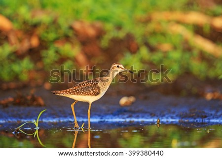 Wood sandpiper among beautiful colors, wild bird - stock photo