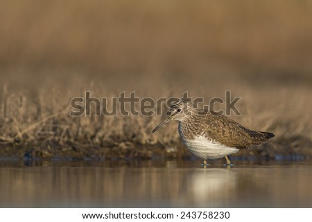 Wood sandpiper and water - stock photo