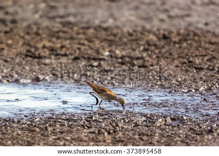Wood Sandpiper in the mud at the shore - stock photo