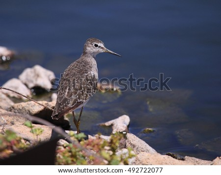 Wood Sandpiper near Alice Springs, Central Australia.