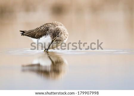 Wood sandpiper Tringa Glareola - stock photo
