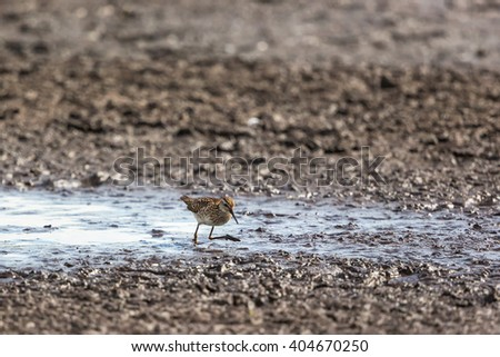 Wood Sandpiper walking in the mud at the shore - stock photo