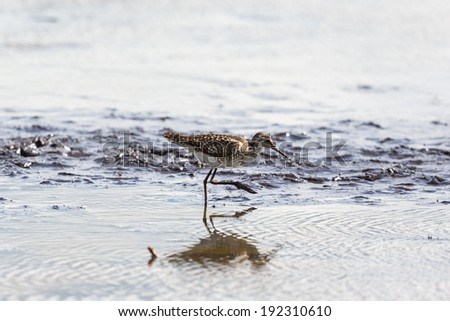 Wood Sandpiper walking on the shore