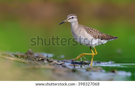 Wood Sandpiper walking to a shore - stock photo