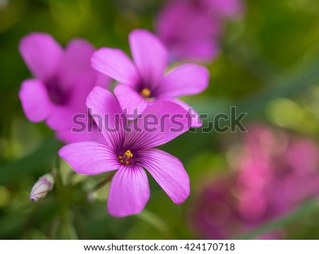 Wood sorrel blooming in the early summer field - stock photo