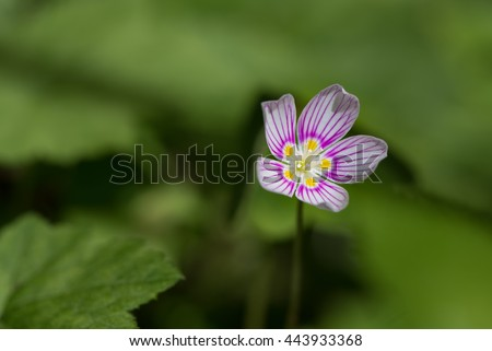 Wood Sorrel Flower growing at the Lake Julia Preserve the Nature Conservancy - stock photo