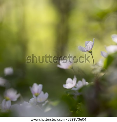 Wood sorrel flowers in the forest growing towards the sun with space for text. - stock photo