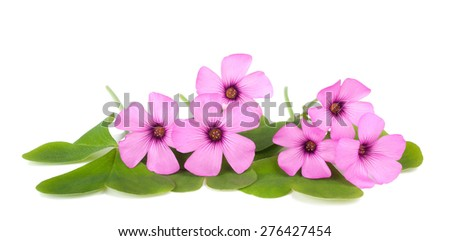 Wood sorrel flowers with leaves isolated on white background - stock photo