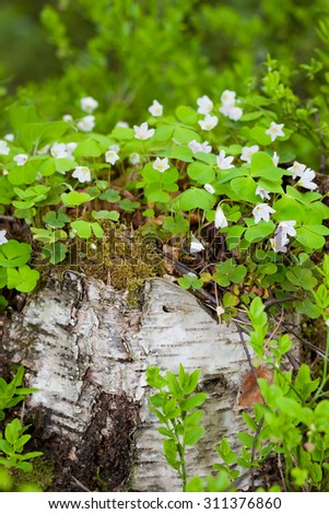 Wood sorrel growing on birch tree stump - stock photo
