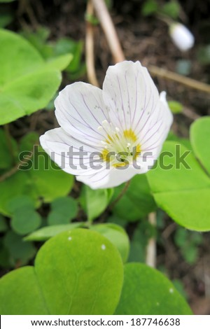 Wood Sorrel (Oxalis acetosella) in the forest.