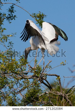 Wood stork looking for nesting material - stock photo