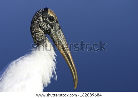 Wood Stork (Mycteria americana) - stock photo