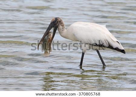 Wood Stork (Mycteria americana) Eating a Tilapia - Florida - stock photo