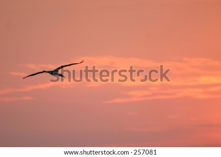 wood stork (Mycteria americana) flying at sunset, Ding Darling NWR