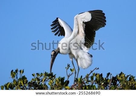 Wood stork (Mycteria americana) spreading wings - stock photo