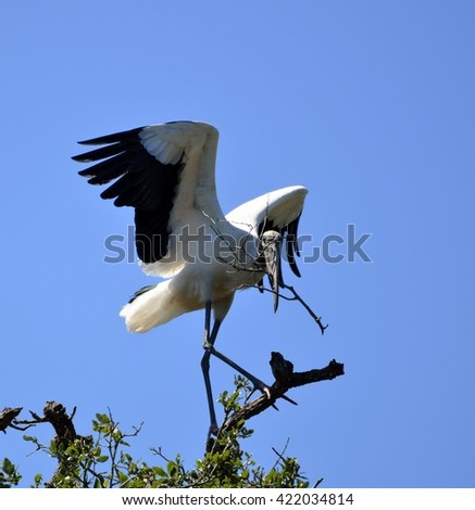 Wood Stork nesting her babies in the wild Florida.USA - stock photo