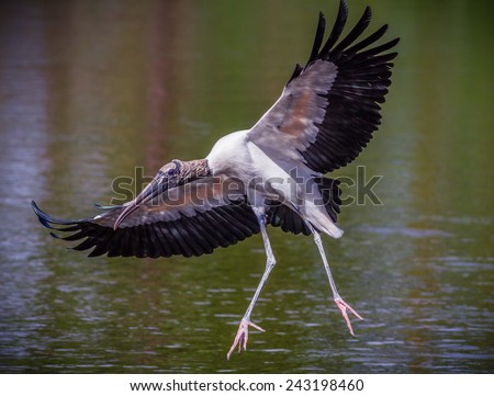 Wood stork with wings spread wide over water - stock photo