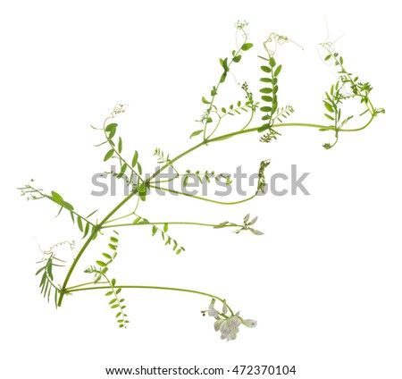 Wood vetch, Vicia sylvatica isolated on white background