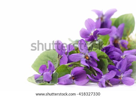 Wood violets flowers close up with white background