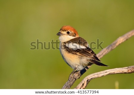 Woodchat shrike perched on a branch with green background. - stock photo