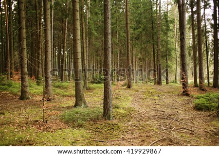 Wooded forest trees with golden afternoon light before sunset with tall tree trunks and path through forest floor while hiking in europe