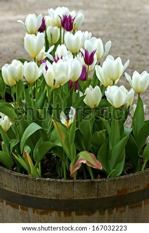 Wooden barrel with tulips in white and purple and green leaves in spring.
