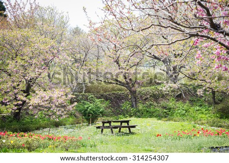 wooden chair in a park full of sakura and tulips in Japan