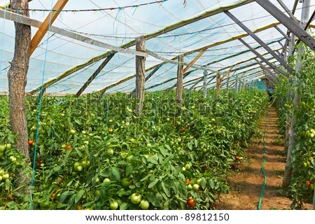 Wooden film greenhouses with tomatoes from the inside - stock photo