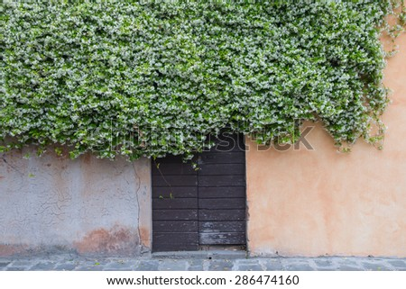 wooden old door and ocher wall covered by climbing jasmine full of white flowers - stock photo