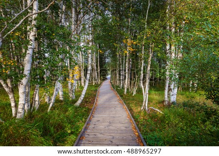 wooden path in beautiful green and yellow birch forest at early autumn