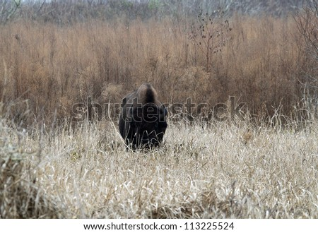 woodland bison - stock photo