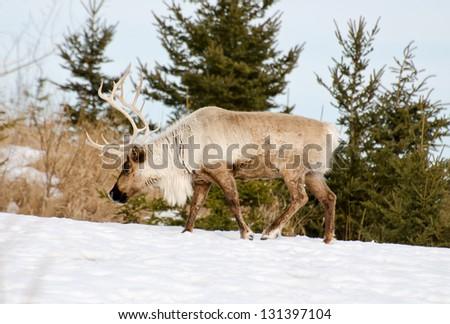 Woodland caribou - stock photo