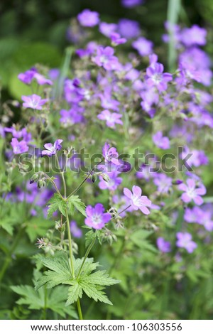 Woodland Geranium blooms in the meadow