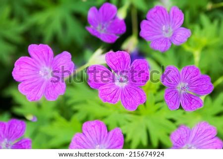 Woodland geranium in natural habitat - stock photo