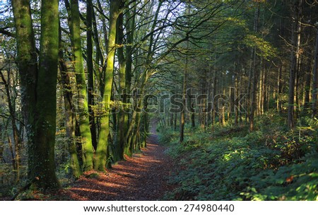 Woodland Path with Moss Covered Trees and Winter Sun in Northdown Plantation, Eggesford Forest, Devon, England, UK - stock photo
