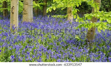 Woodland scene with bluebells