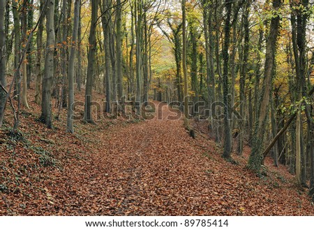 Woodland track in Autumn Cotswold Beech Wood